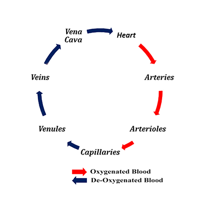 Order blood flow diagram wiring diagram cardiovascular system flow chart images chart design for project rh collegepaperwriters info blood flow diagram worksheet blood flow through heart diagram ccuart Image collections