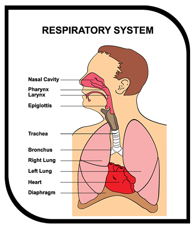 Our Respiratory System Epichealtho